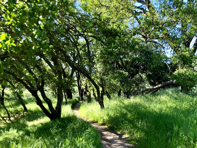 Green grass shaded by oak trees.