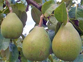Pears hang from a tree branch in the John Muir NHS orchard