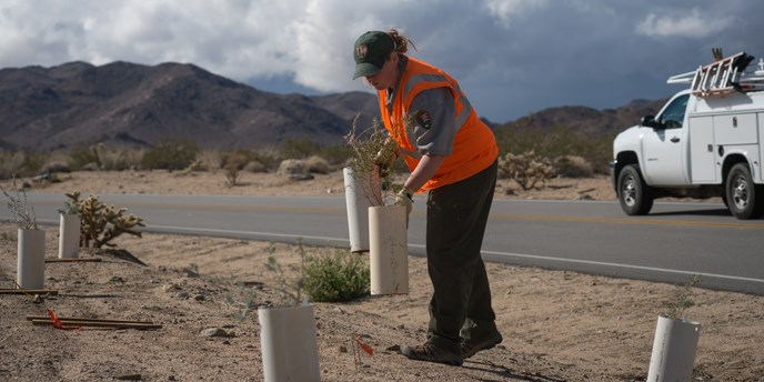 a park employee wearing a bright safety vest over her uniform sets out plants for a roadside vegetation restoration project