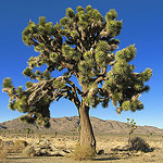 an unusually large and full Joshua tree
