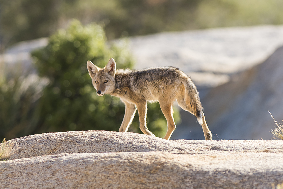 a scruffy coyote looks at the camera while trotting across open ground