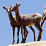 two young bighorn sheep