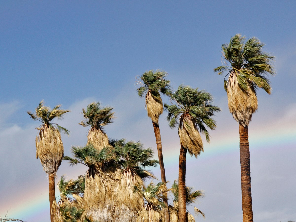 Color photo of California palm trees with a rainbow in the background. NPS / Brad Sutton