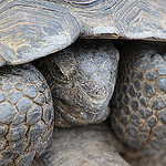 close-up of desert tortoise with head retracted into shell