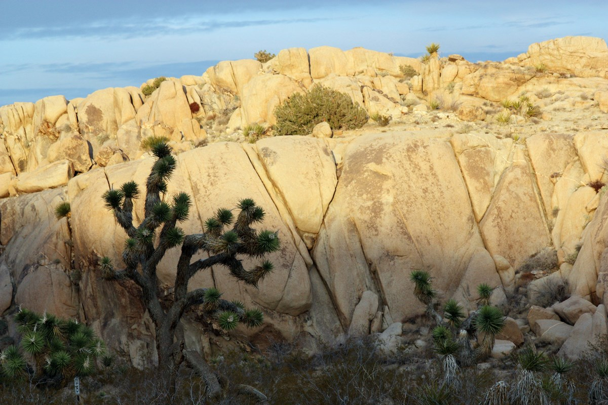 Color photo of Joshua trees in front of a large mound of split boulders at sunset. Photo: NPS / Robb Hannawacker