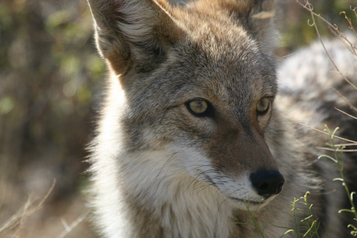 Color photo of a close up of a coyote's face. NPS / Michael Vamstad
