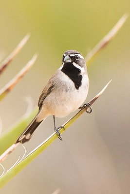 A bird with a beige breast, striking dark throat, and bright white stripes on its face perches on a yucca plant.