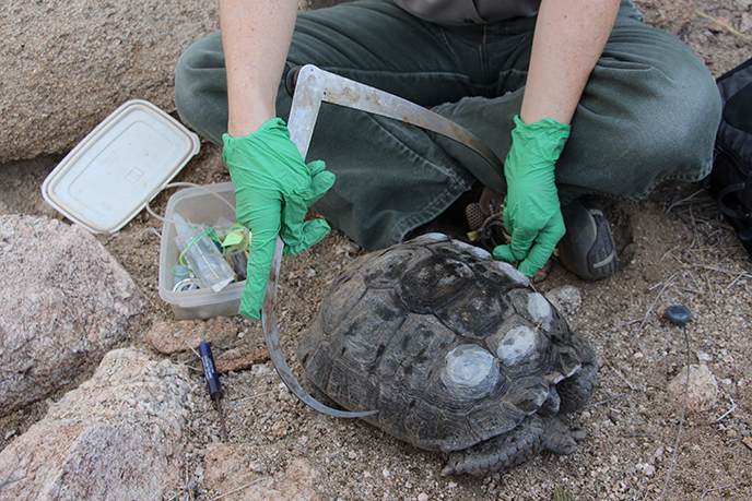 park wildlife biologist uses calipers to measure the width of a desert tortoise
