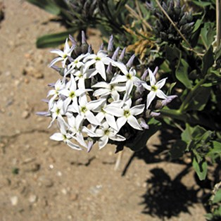 Color photo of a bunch of star-shaped white flowers with blue-purple tinge on the tips.