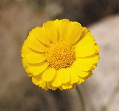 Color photo of a close up of a many-petaled yellow flower.