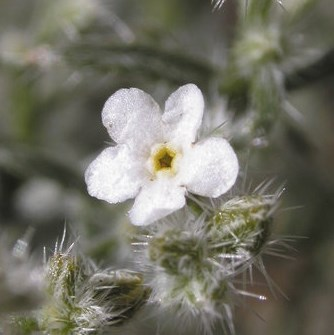 Small white flower with star-shaped yellow center. Photo: James Andre