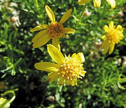 Yellow-petaled flowers with orange centers.