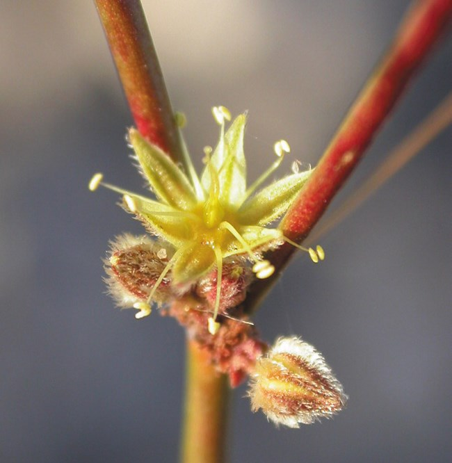 Tiny yellow flower with long, stringy stamens, in the joint of two reddish stems. Photo: James Andre