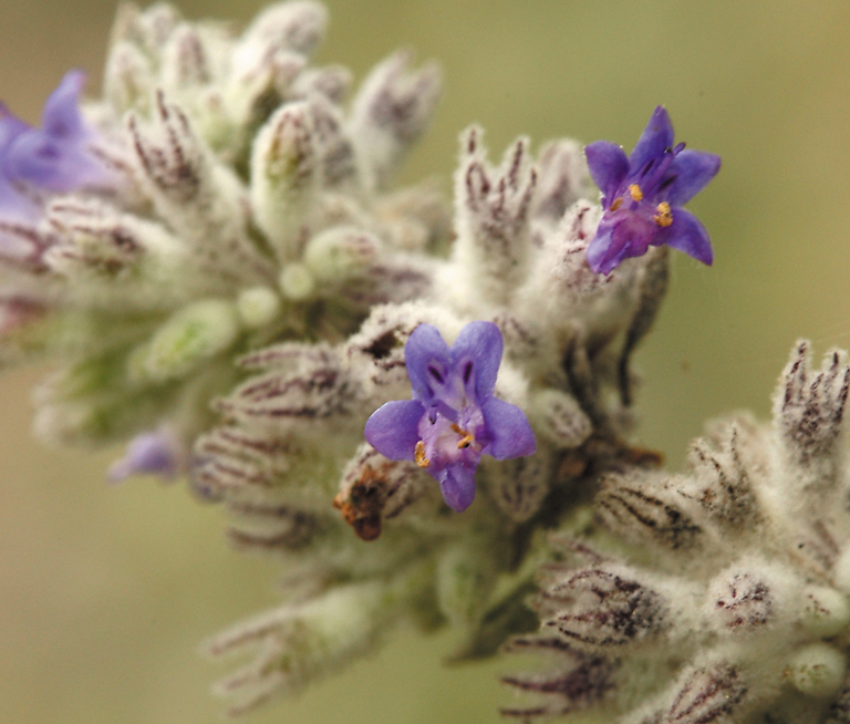 Color photo of a very small purple flower on a larger wool stalk of buds. Photo: Steve Matson