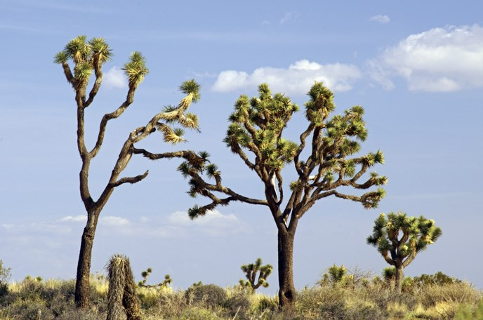 several Joshua trees of different shapes
