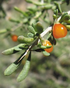 Small orange-colored berries on a green twig.