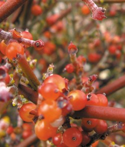 Bright red berries on an orange-red stem.