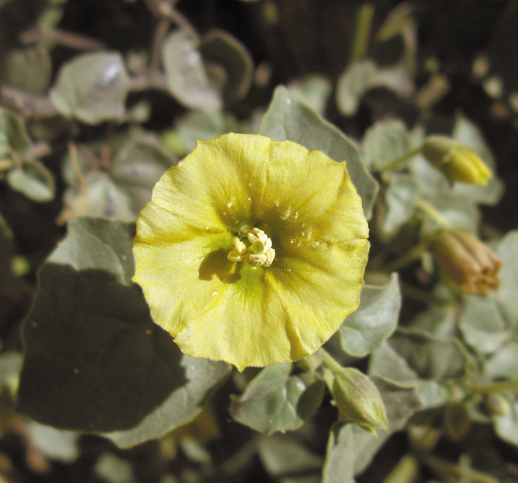 Color photo of a large, flat, yellow flower over broad green leaves.