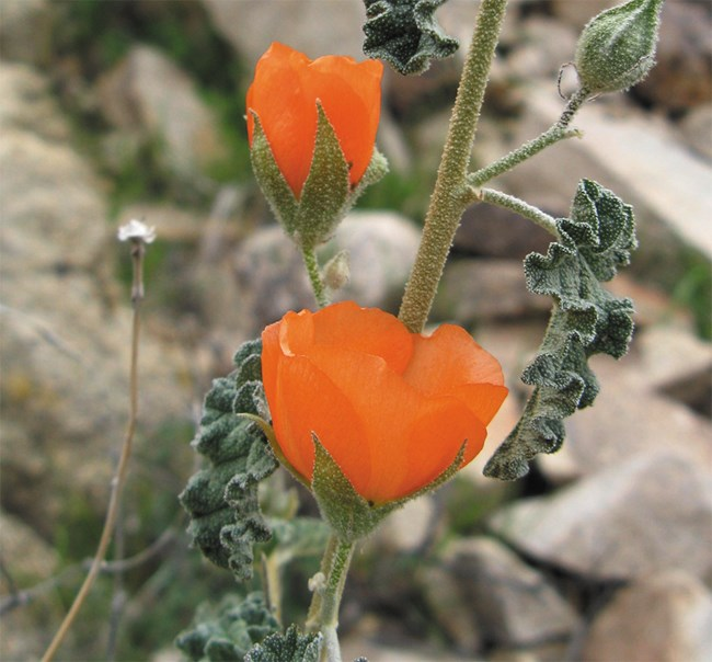 Bright orange, cup-shaped flower on a green, hairy stem.