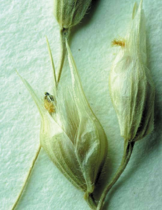 Color photo of white flowers that look like seed pods.
