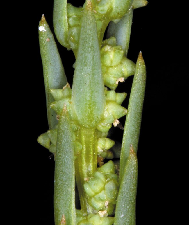Spiky green stem covered in small green buds. Photo: Steve Matson