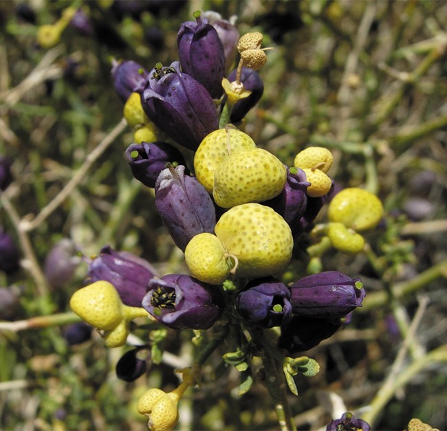 Color photo of purple flowers and yellow glands on a shrub.