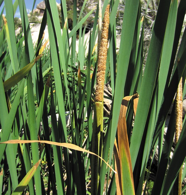 Color photo of tall reeds and a center brown cattail.