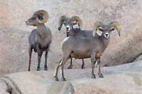 Bachelor band of mature rams.