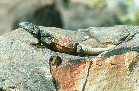 western chuckwalla basking on a rock outcrop