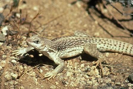 Lizard Lifestyles - Joshua Tree National Park (U S  National