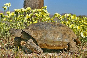 Desert Tortoise - Joshua Tree National Park (U.S. National Park Service)