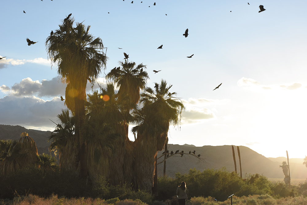 A large number of vultures are seen perched on palm trees and soaring in the air at sunset. Photo: NPS / Brad Sutton