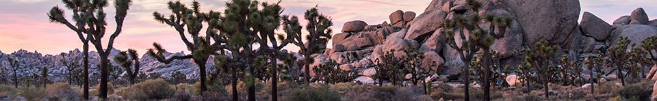 many Joshua trees grow in front of boulders and rock outcrops