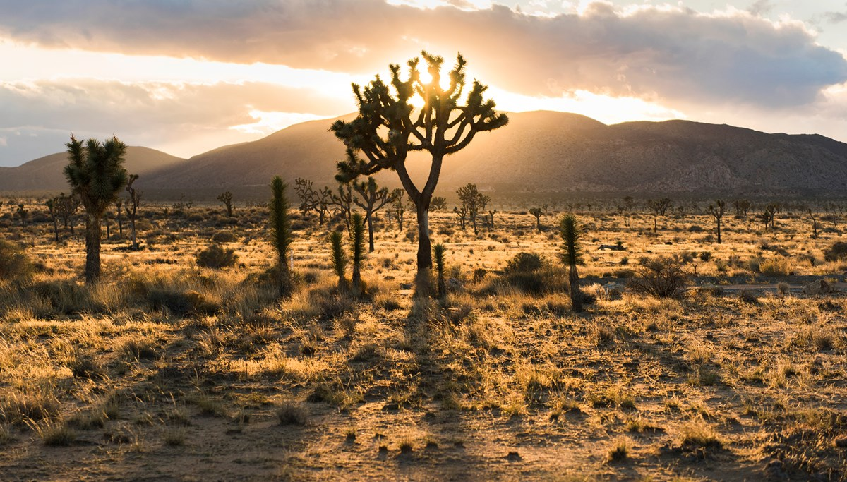 Color photo of the sun backlighting a Joshua tree through some clouds. Desert landscape fills the foreground with mountains in the background. Photo: NPS / Brad Sutton