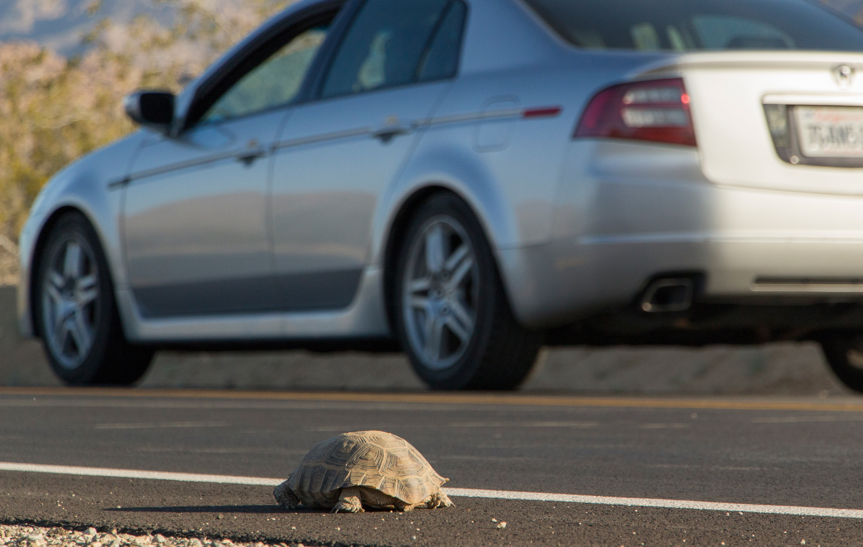 A desert tortoise on the edge of a paved road. Photo: NPS / Brad Sutton