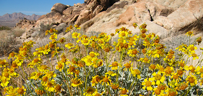 Yellow blooms of Acton's brittlebush, Encelia actoni, with rocks in the background.