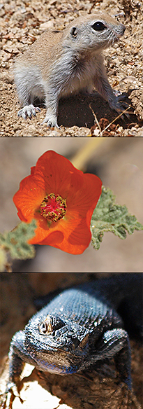 Round-tailed ground squirrel, globe mallow, and Great Basin fence lizard