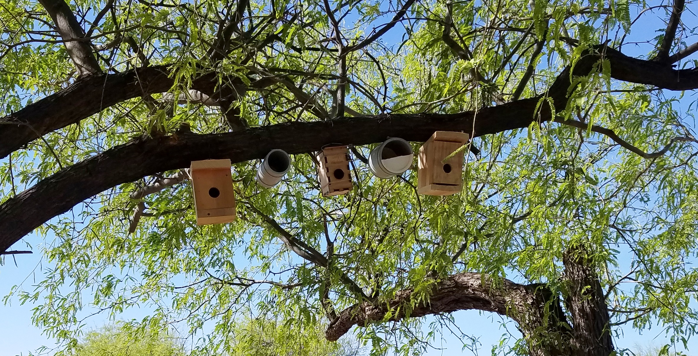 A row of wooden nest boxes are installed along a mesquite branch with bright green foliage in the background.