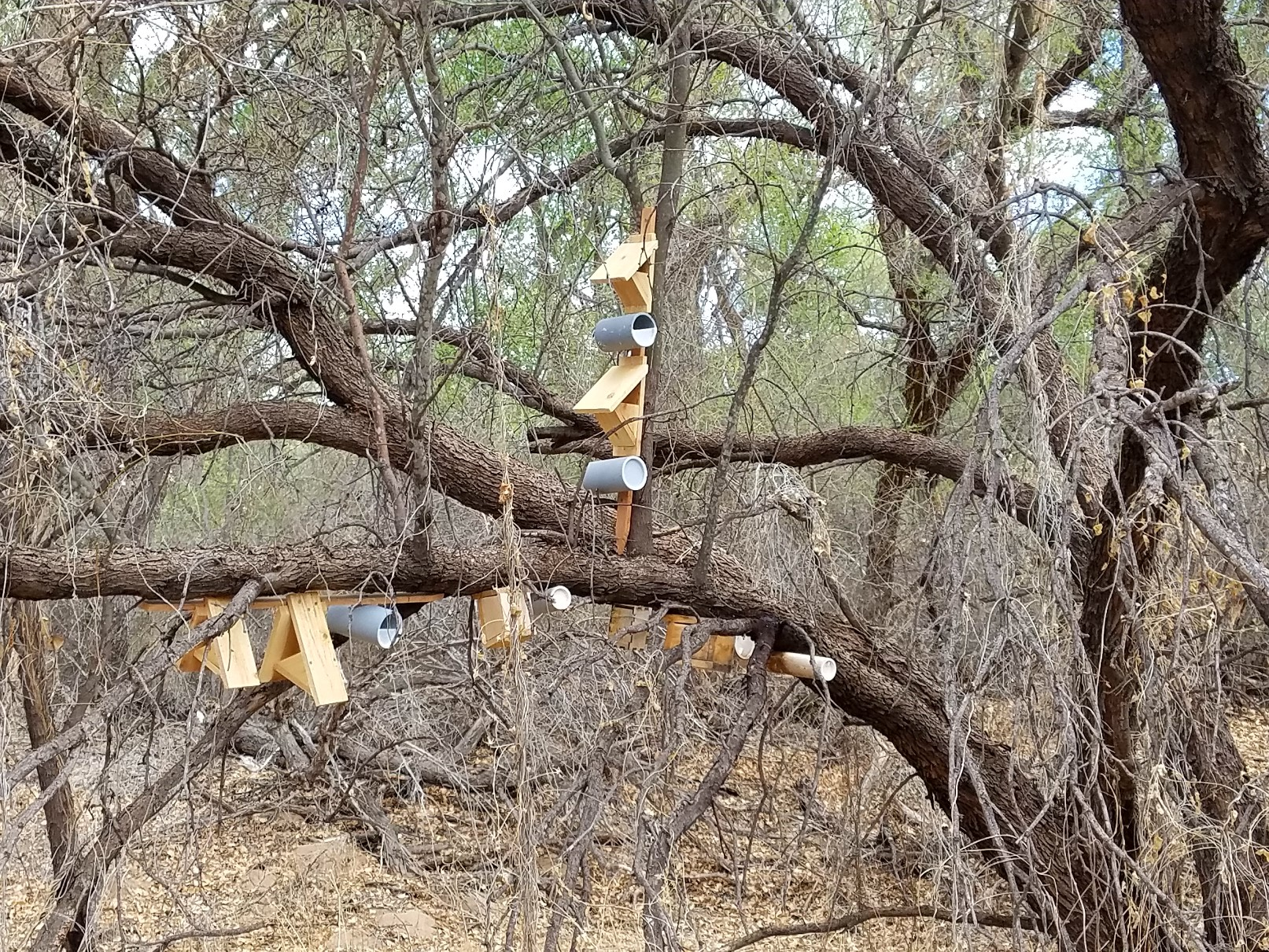 Wooden nest boxes are installed on the branches of a mature mesquite tree.