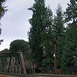 redwood tree by railroad