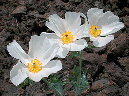smooth prickly poppy