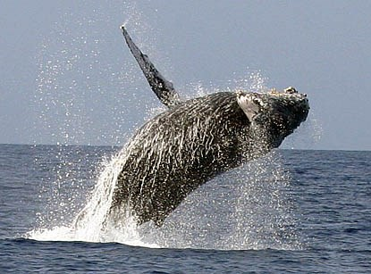 hump-backed whale