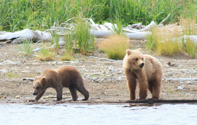 435 Holly's spring cub and adopted yearling at Margot Creek