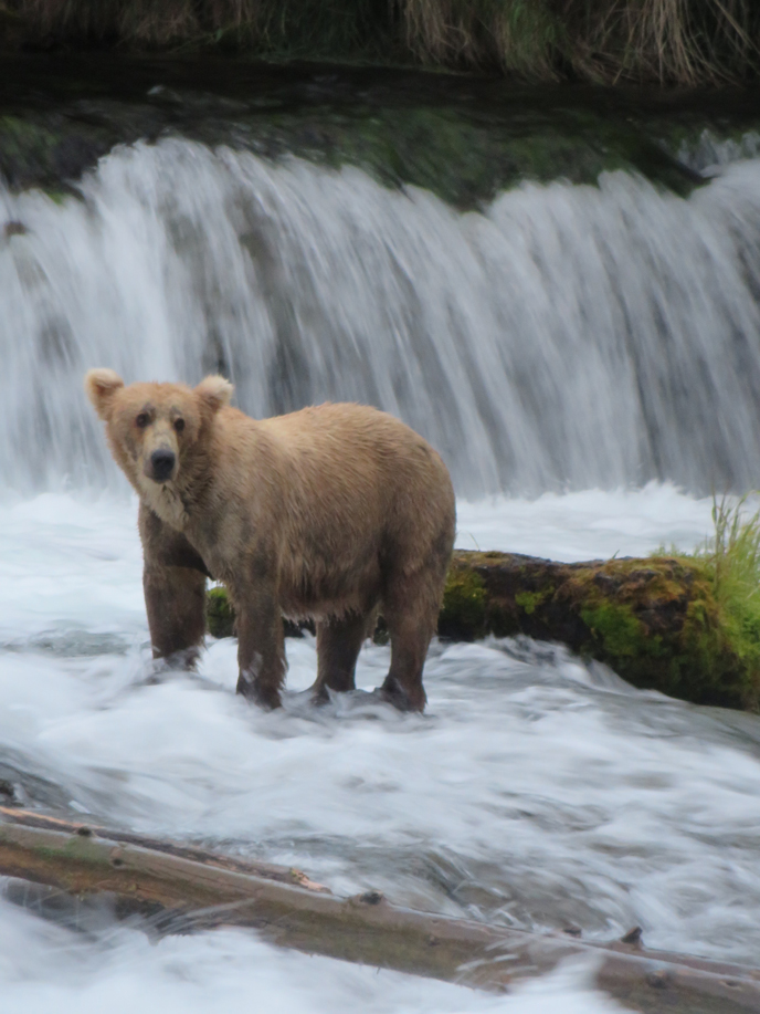 blond colored bear standing at waterfall