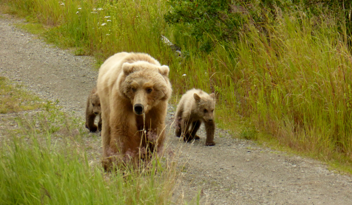 Bear 171 and her two small spring cubs