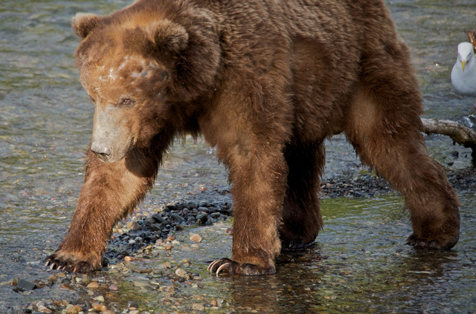 Adult male bear walking in river