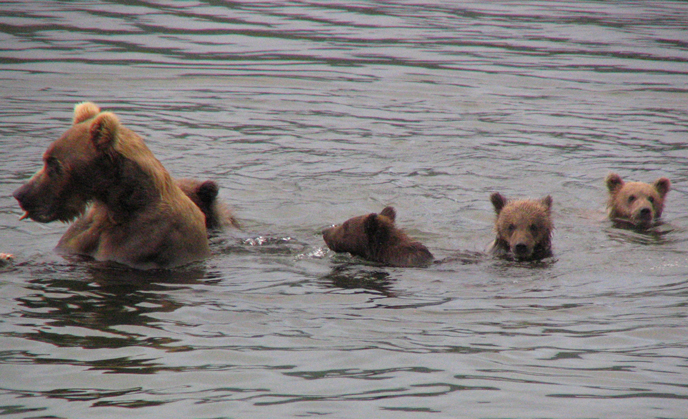 bear in water with four cubs nearby