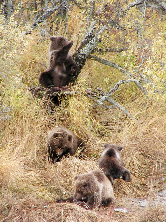four bear cubs playing in vegetation