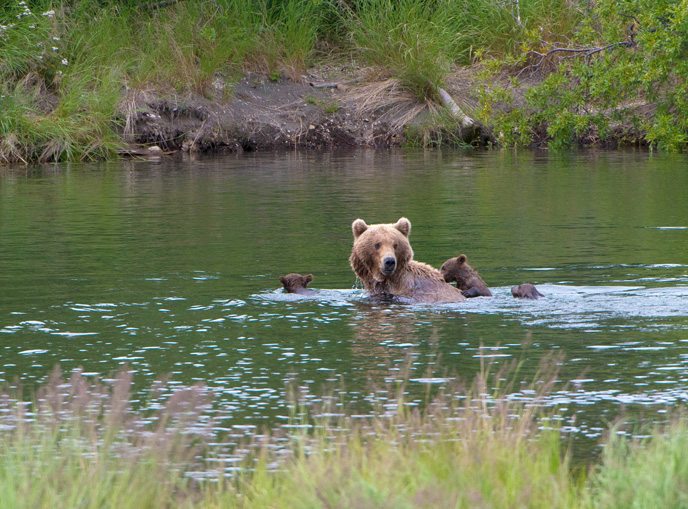bear in river with three cubs