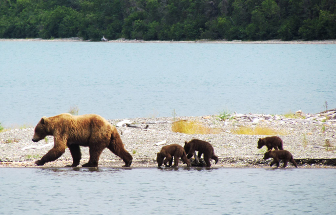 bear walking with four spring cubs